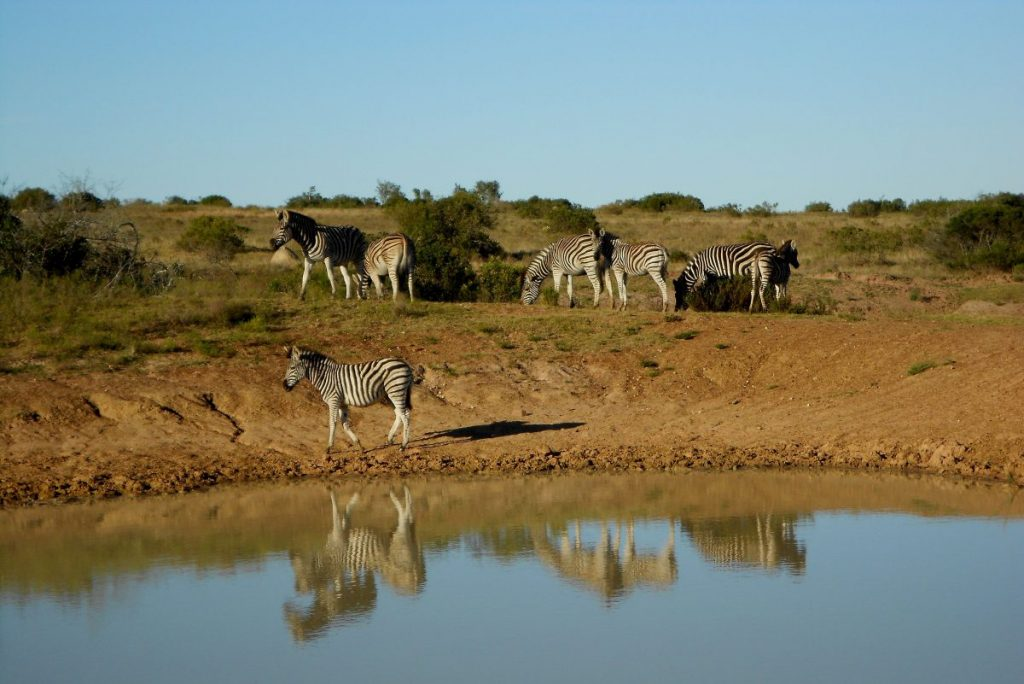 zebres au bord de l'eau