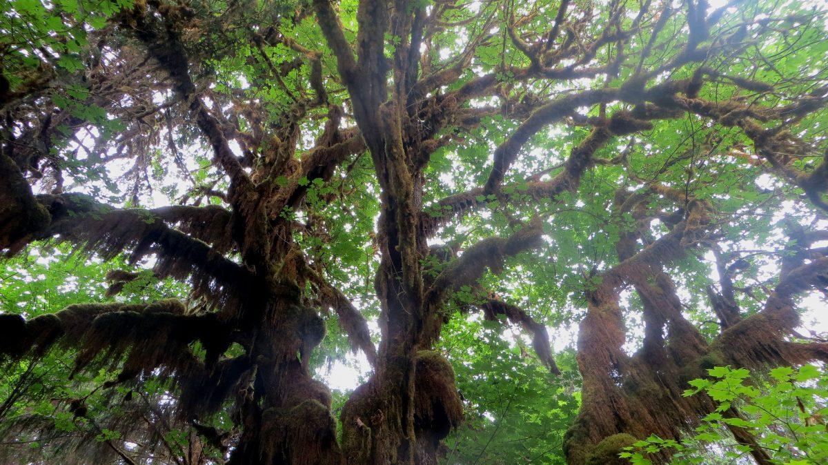 Arbre dans la Hoh Rain Forest dans l'Etat du Wahington