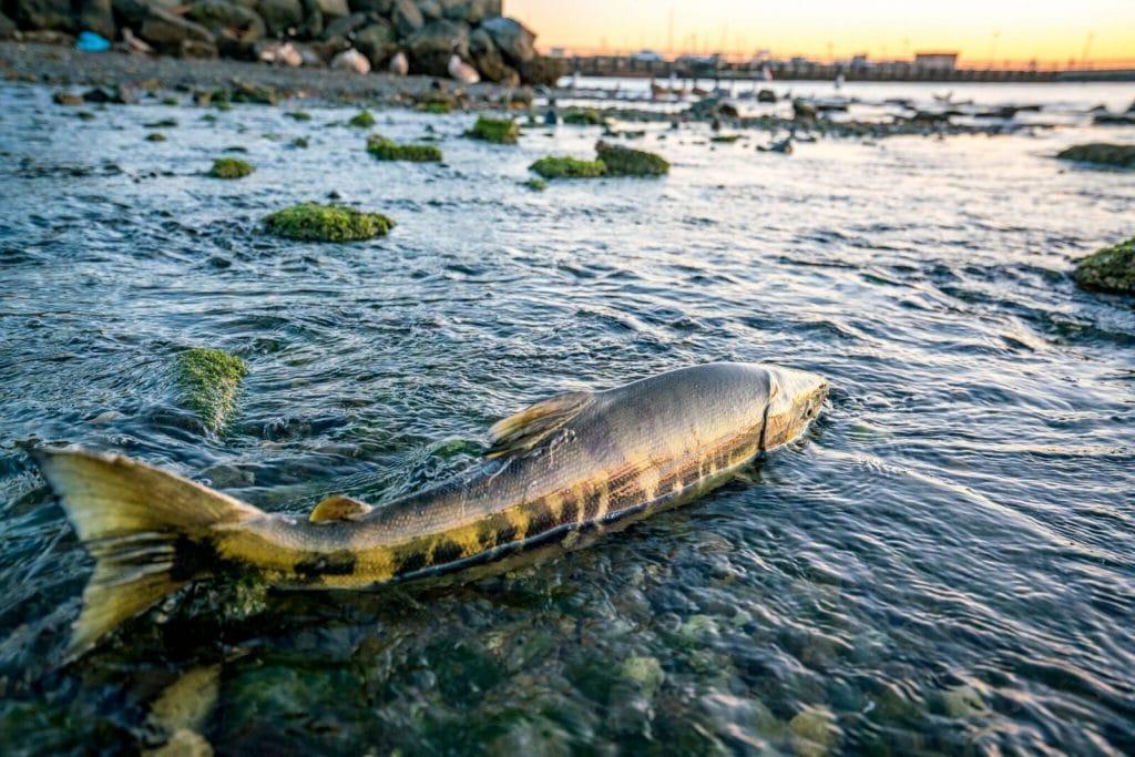 Un bien joli poisson pêché dans l'Etat du Washington