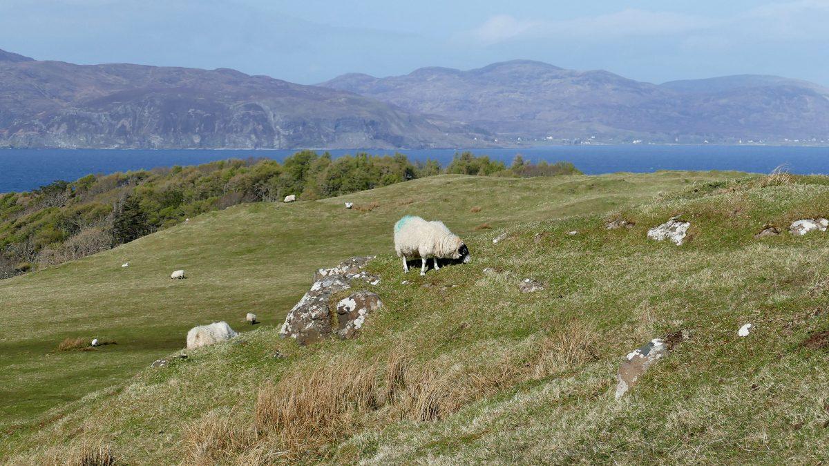 Mouton sur le Site du Glegorm Castle