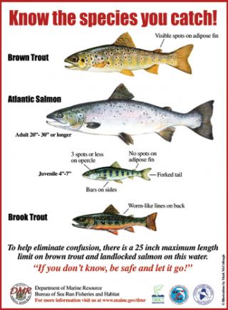 dessins permettant de différencier saumon et truite