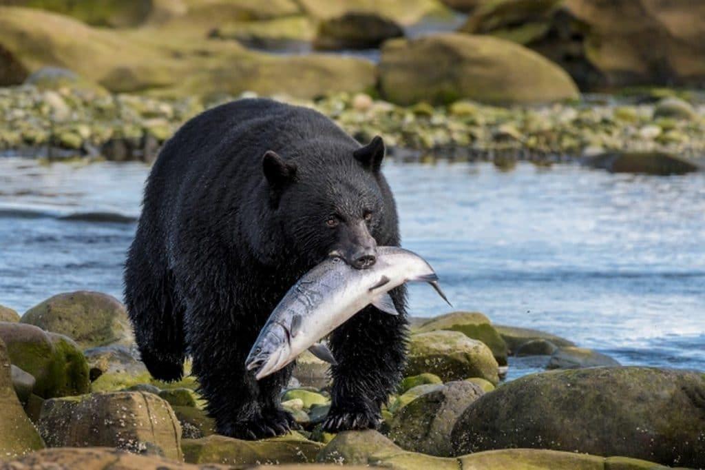 Ours transportant un saumon dans sa gueule, Port Hardy