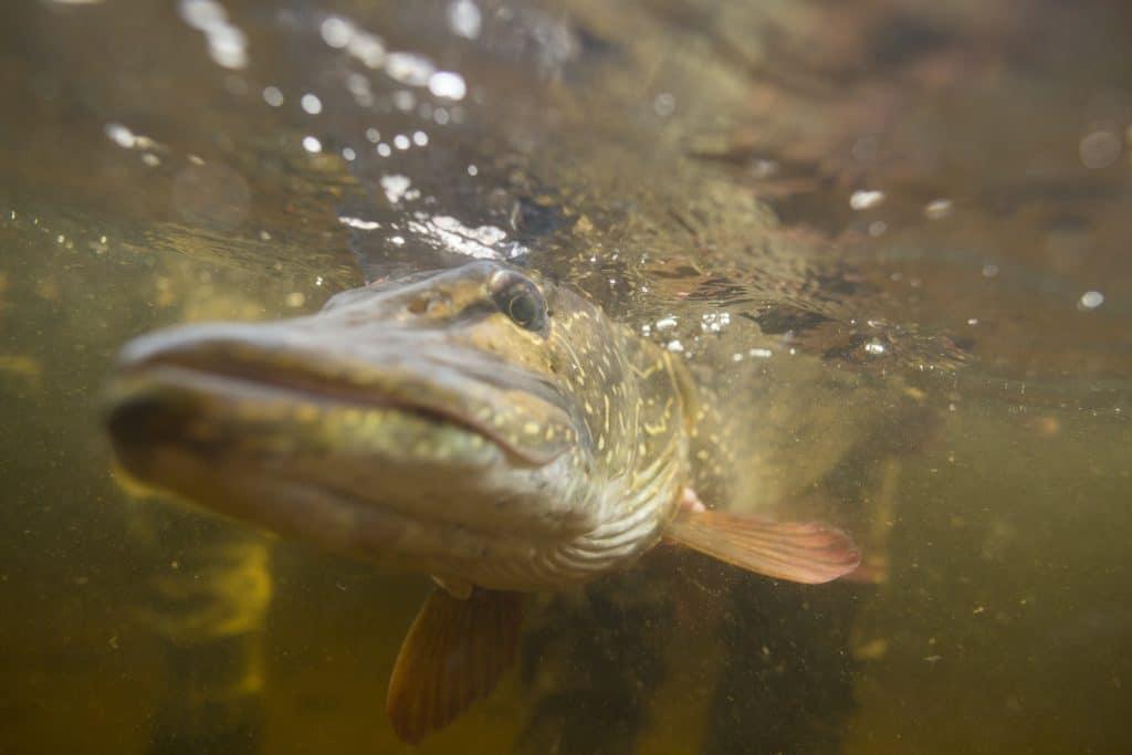 Pêche du brochet au Québec, poisson remis à l'eau