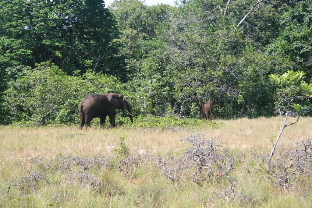 Eléphant de la réserve naturelle d'Iguela.