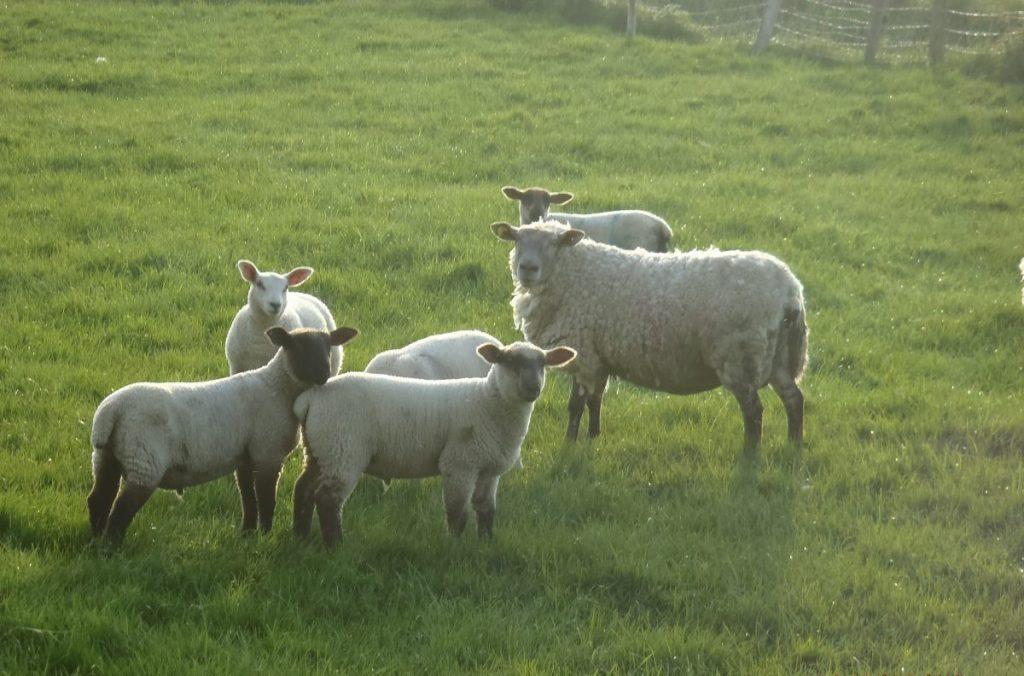 moutons irlandais