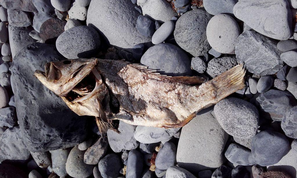 poisson désséché sur l'île de Sao Jorge (Açores)