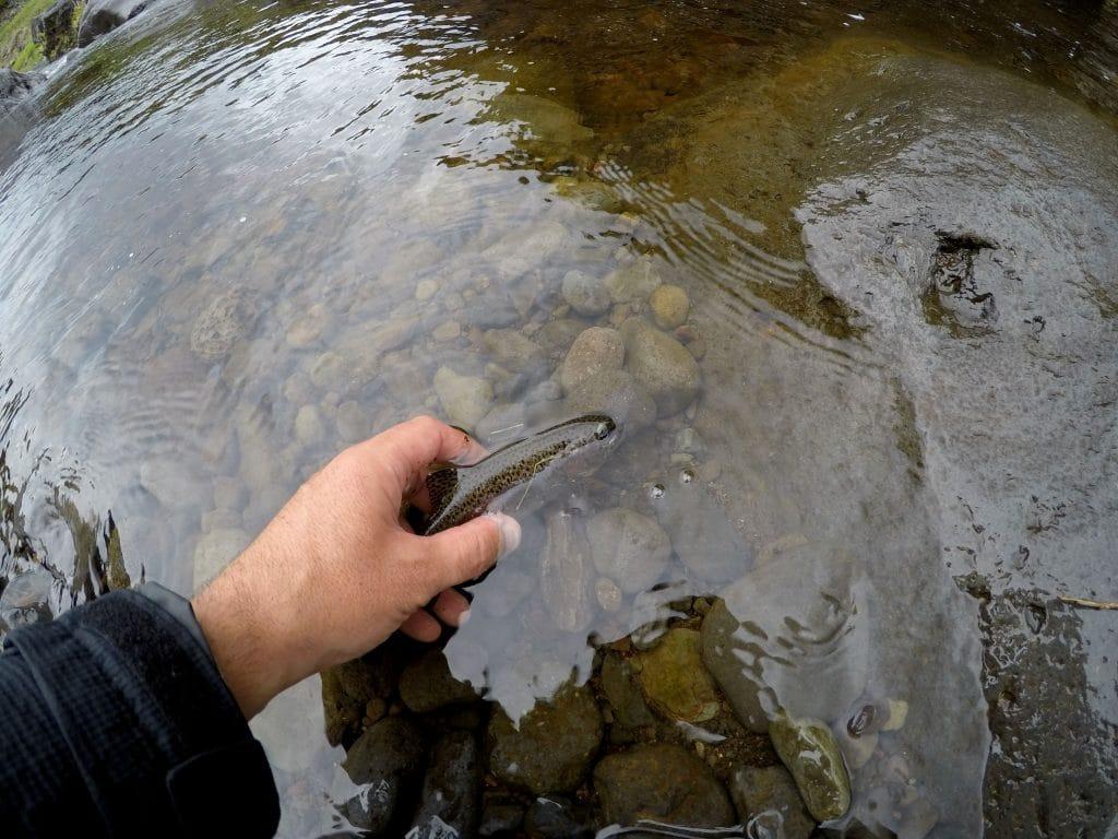 Truitelle retrouvant l'eau