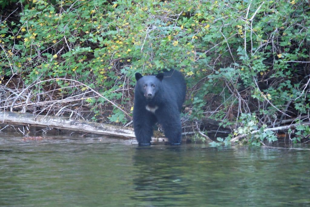 Ours sur l'île de Vancouver