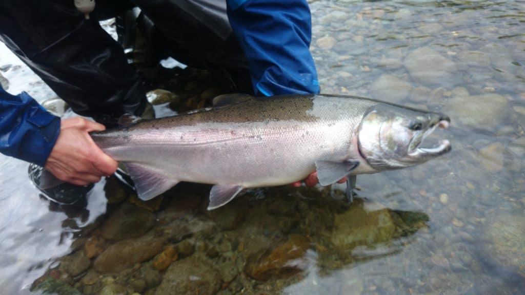 saumon coho - île de Vancouver