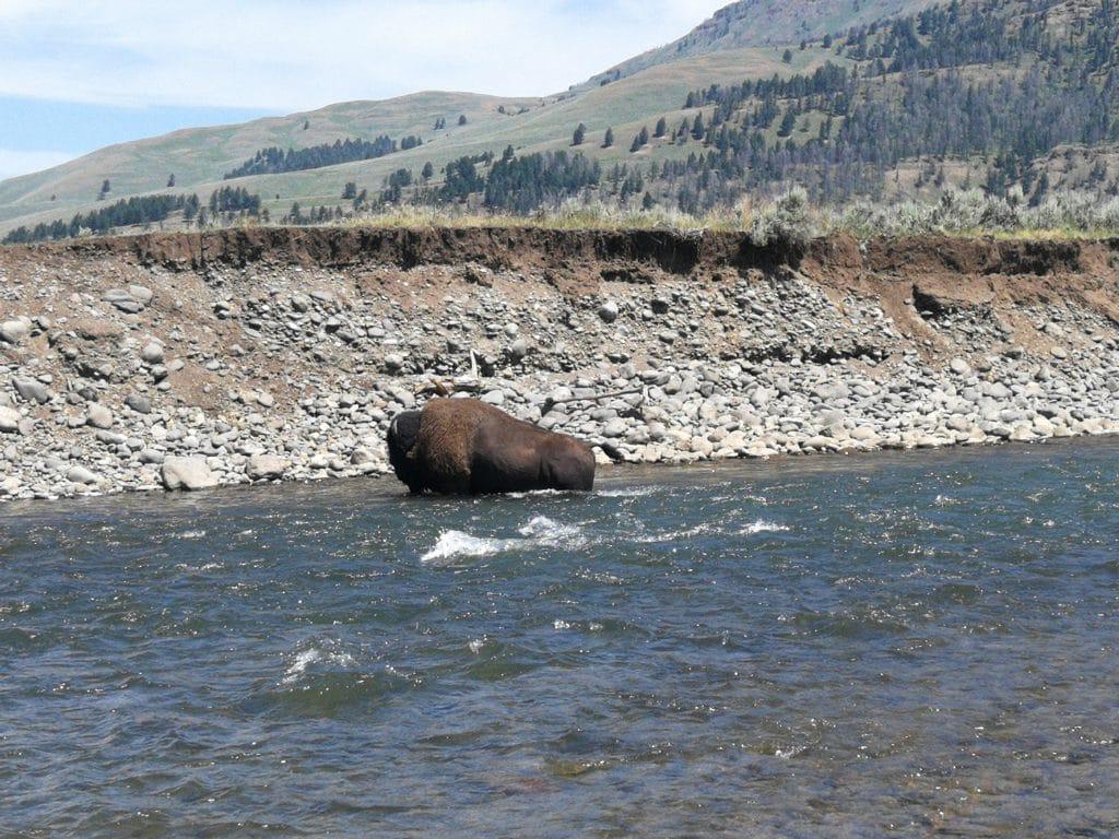 Un bison traversant la rivière, à l'endroit même où nous étions en train de pêcher !!!