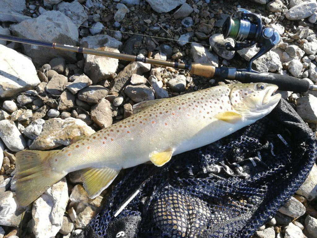 Superbe fario pêchée sur la rivière Madison, dans le Montana