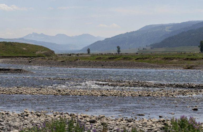La rivière Lamar dans le yellowstone et ses bisons