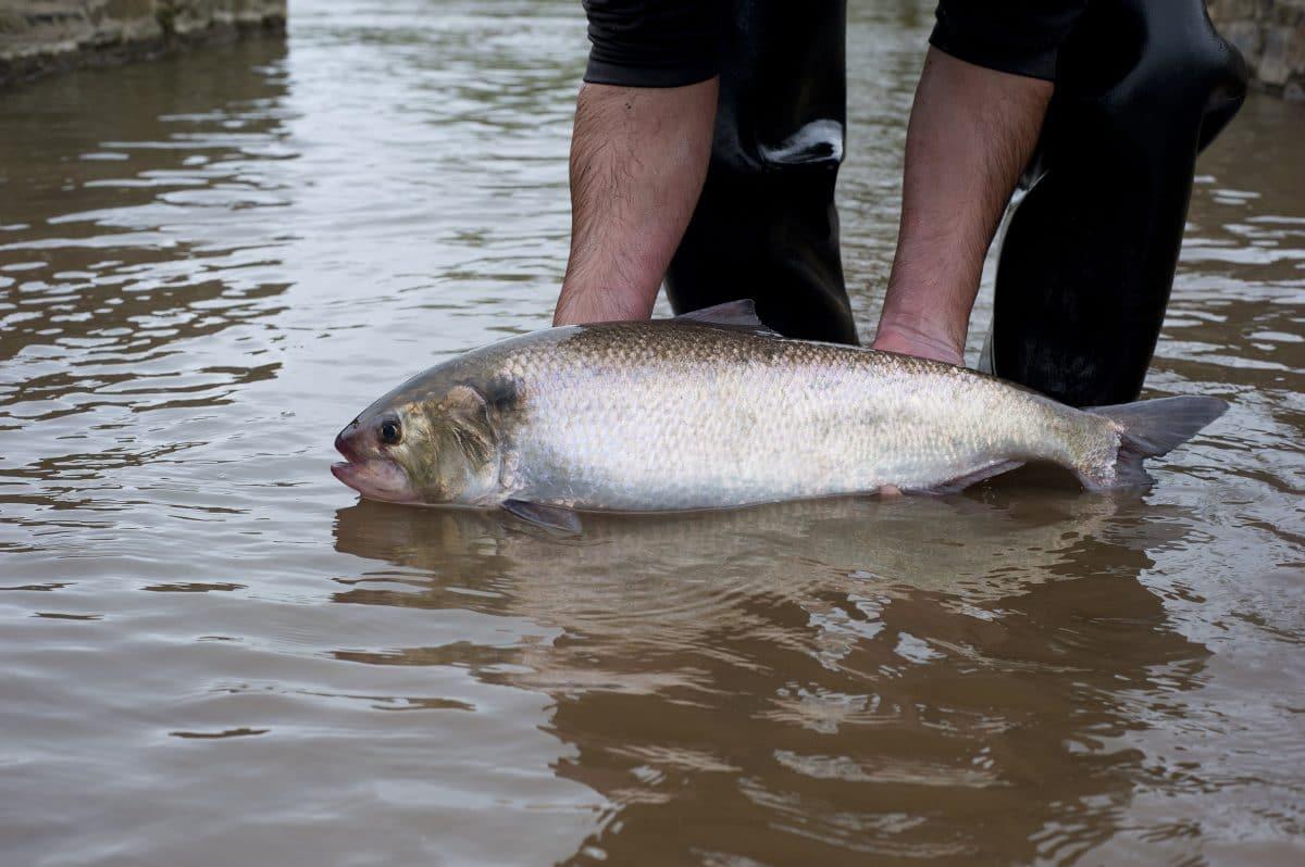 pêche de la Grande Alose dans le Manche