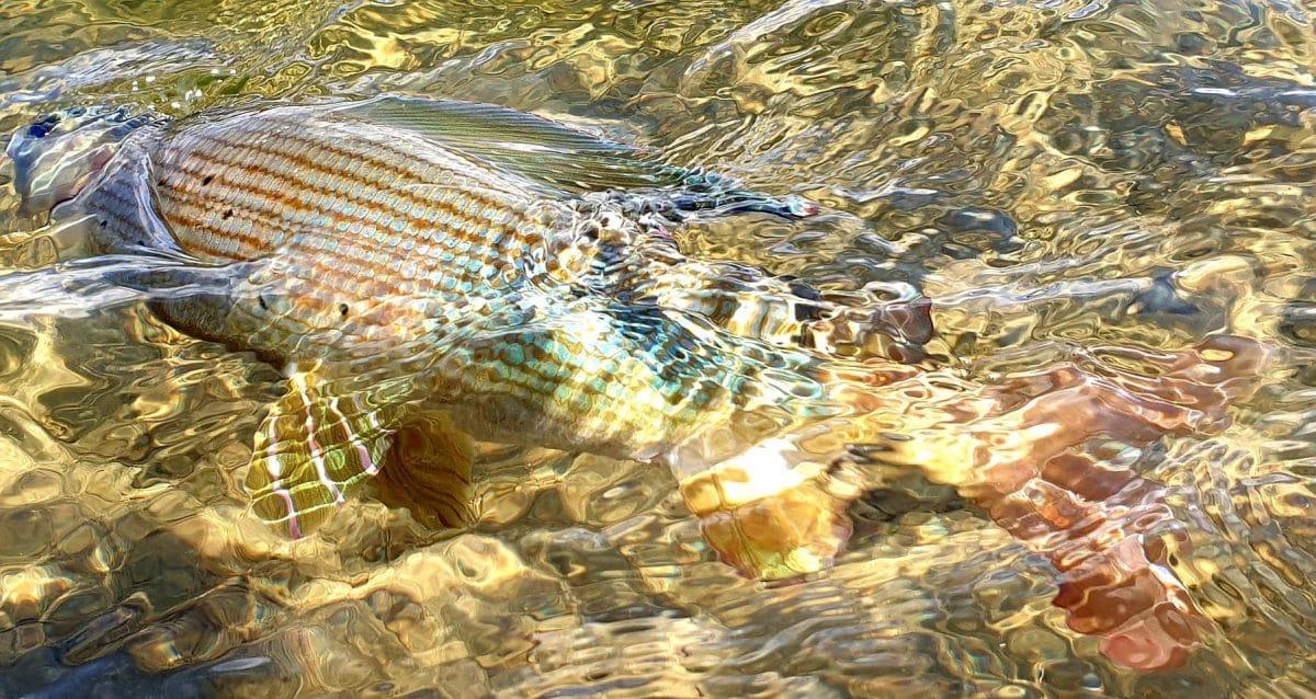 pêche de l'ombre en Mongolie