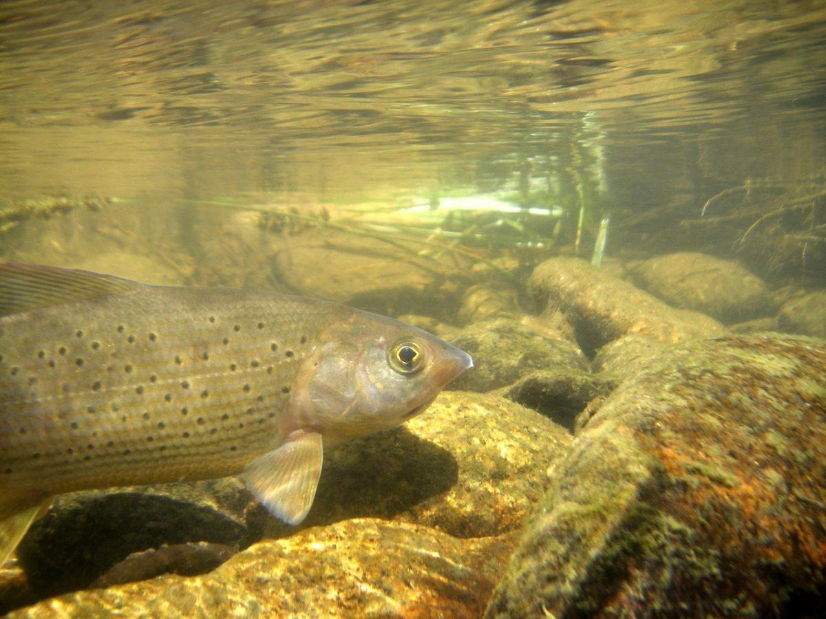 Pêche de l'ombre commun sur l'Allier en Lozère